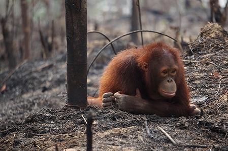 orangutan in ashes