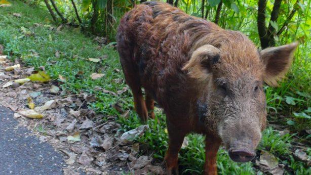 wild boar on the road