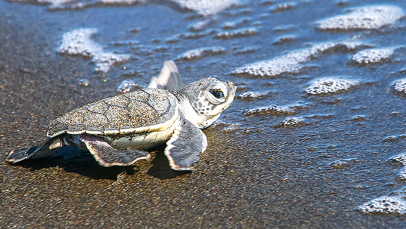 baby-sea-turtle-walking-to-the-water_800px