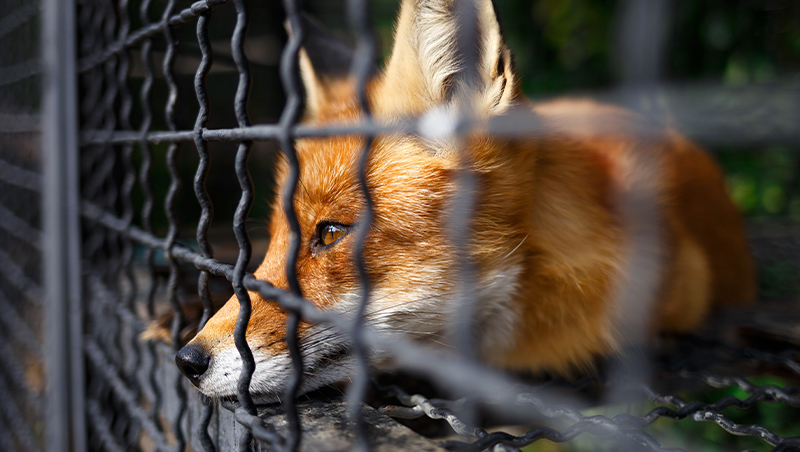 sad-fox-in-a-cage_800px